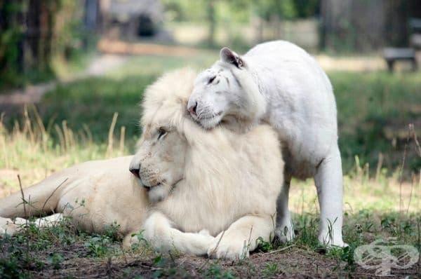 Бял лъв и бял тигър.