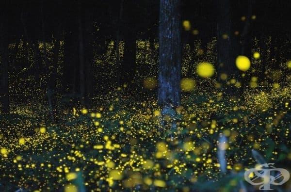 Светещите (от светулки) гори в Япония.