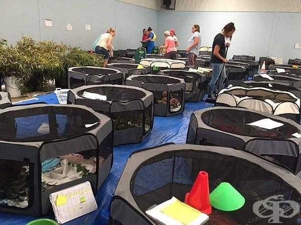 Това е импровизиран спасителен център за коали, създаден в училищна фитнес зала. В него са настанени над  250 коали.