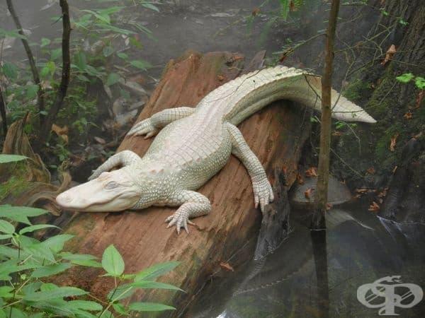 Крокодил албинос