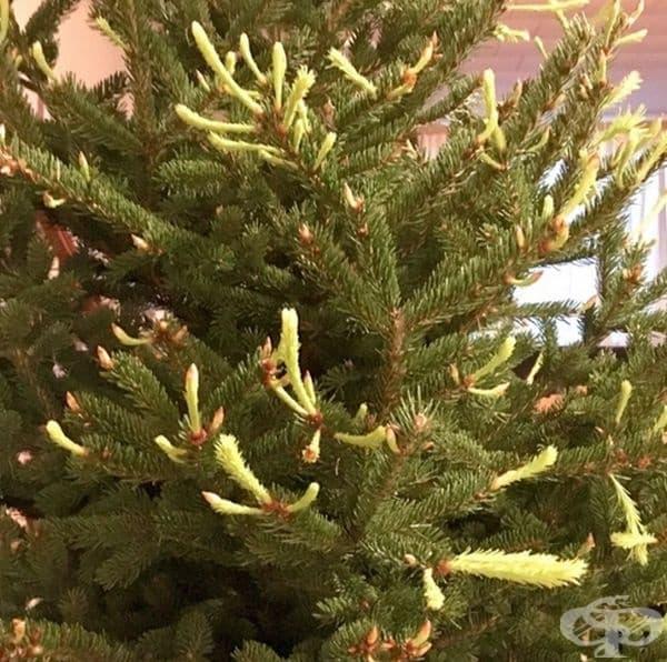 Коледното дърво продължава да расте.