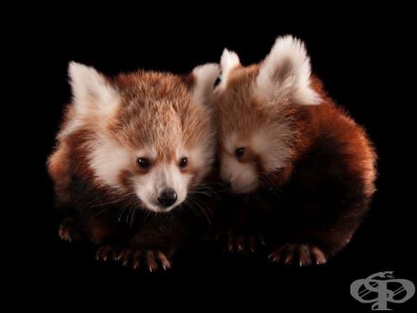 """Червени панди, Детски зоопарк """"Линкълн"""", САЩ. (Снимка: Джоел Сарторе)"""