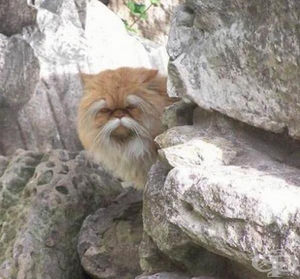 Тази котка изглежда на стар кунг фу майстор.