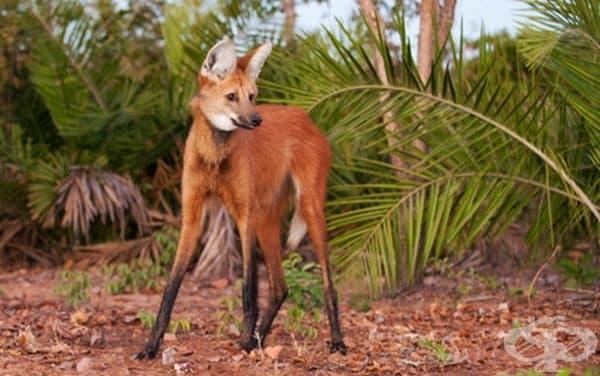 Това не е лисица, а гривест вълк.