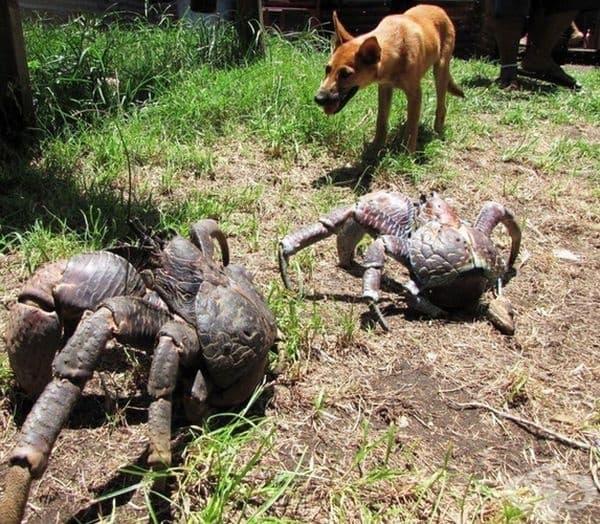 Това са кокосови раци, но с размерите на куче.
