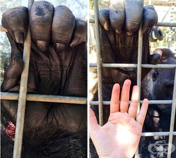 Ръка на горила, сравнена с човешка ръка.