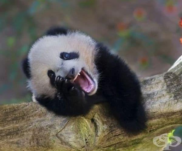 Тази панда също разглежда галерията.