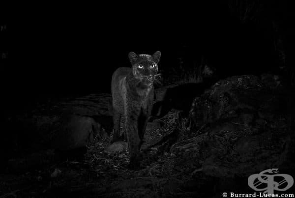 Уил Бърърд-Лукас обяснява, че се е запалил силно по идеята да направи снимки на черния леопард още като чува за неговото съществуване.