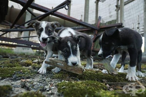 """Животните в Забранената зона около АЕЦ """"Чернобил""""  - изображение"""