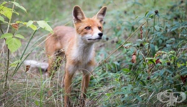 Заснета в региона лисица.