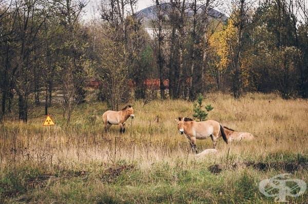 Заселените в региона коне на Пржевалски се размножават безпрепятствено из Забранената зона.