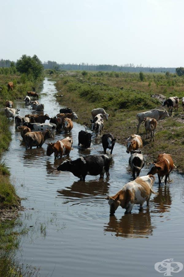 Отводнителните канали, които отвеждат чистата вода извън опасните зони, са любимо място на подивелите крави.