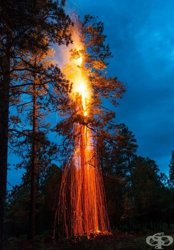 Дърво, ударено от мълния  край Флагстаф, Аризона.
