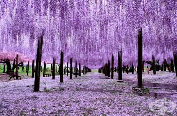Глицинии в Япония с невероятни цветове.