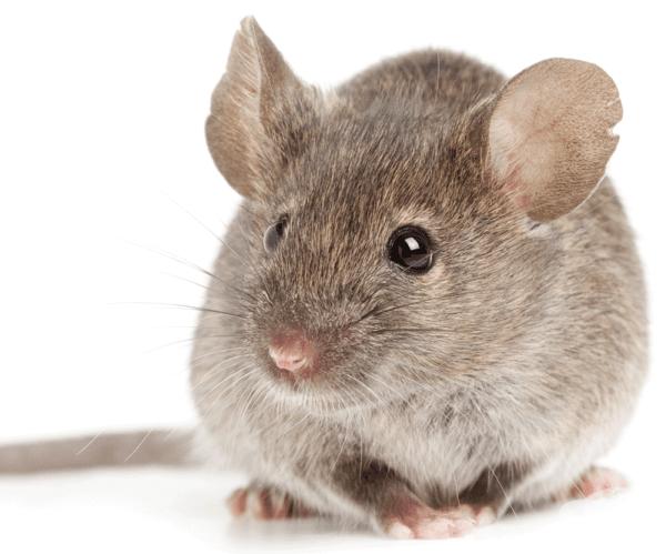 Домашна мишка. Както пантеровият хамелеон, така и домашната мишка живее до една година. Това обаче не й пречи да се класира в категорията за едни от най-бързо размножаващи се бозайници в света.