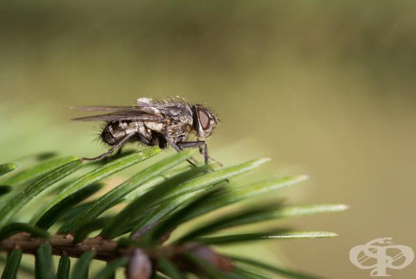 Муха. Обикновената муха живее средно до 7 или 10 дни. Въпреки това досадните насекоми могат да снасят до 1000 яйца.
