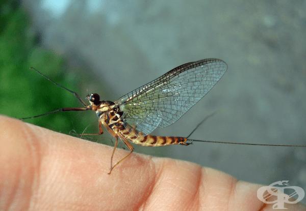 Еднодневки. Само по името може да разберете, че животът на тези малки летящи насекоми е едва 1 ден.