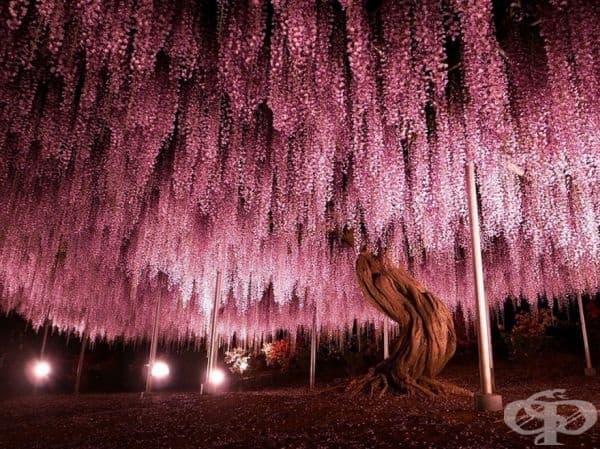 144-годишна Глициния, Япония.