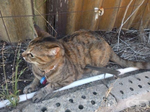 Котката просто е легнала върху пръчка, вгледайте се още веднъж.