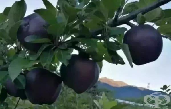 Тези плодове се нуждаят от голямо количество слънчева светлина, затова се отглеждат в планините на 3 500 метра надморска височина. Считат се за рядък вид ябълки.