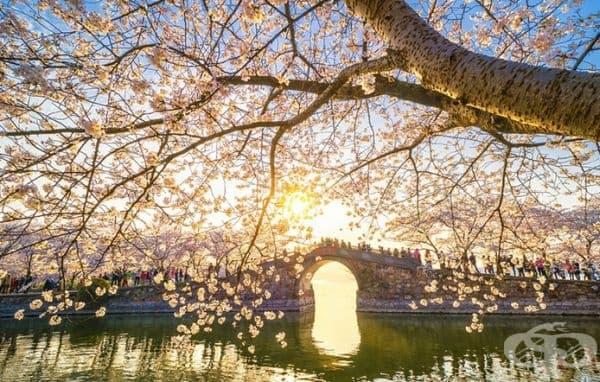 Вишневи дървета разцъфнаха в Китай и удивиха със своята уникалност