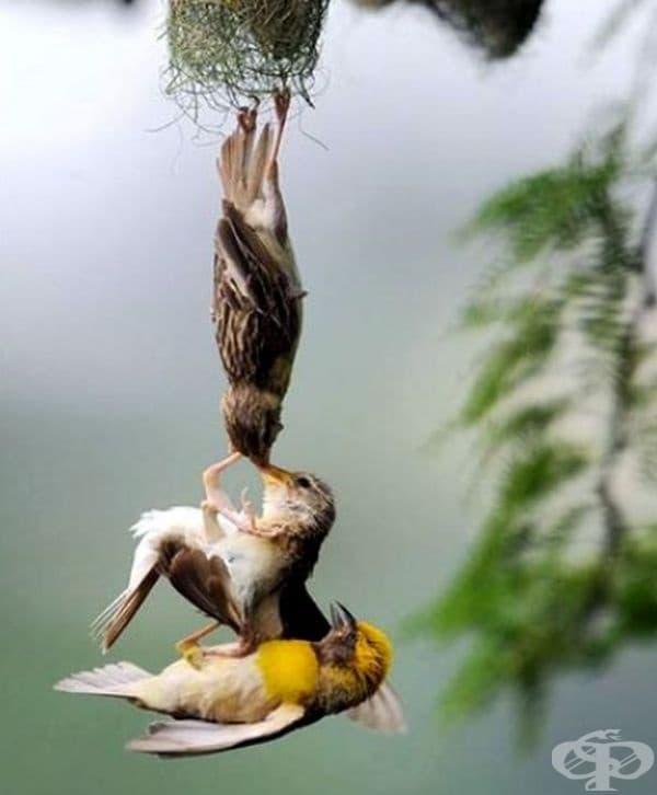Тези птици се опитват да спасят своето бебе.