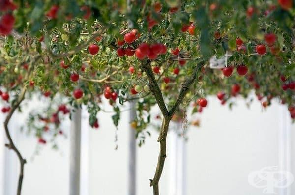 Всяко клонче дава по 5-6 плода с тегло около 150 гр.