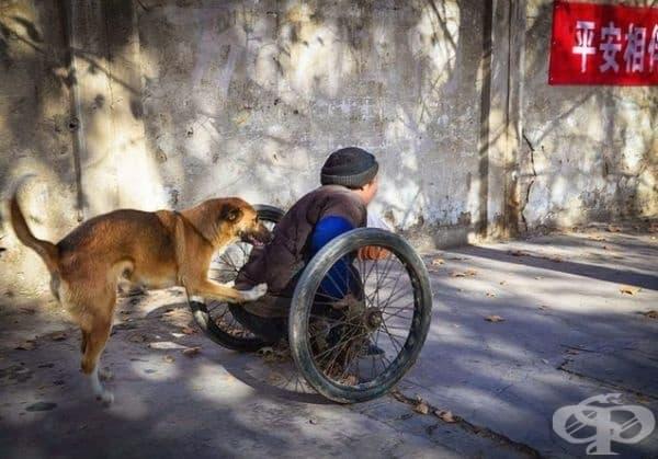Куче помага на човека да се предвижи, бутайки го в инвалидната количка.
