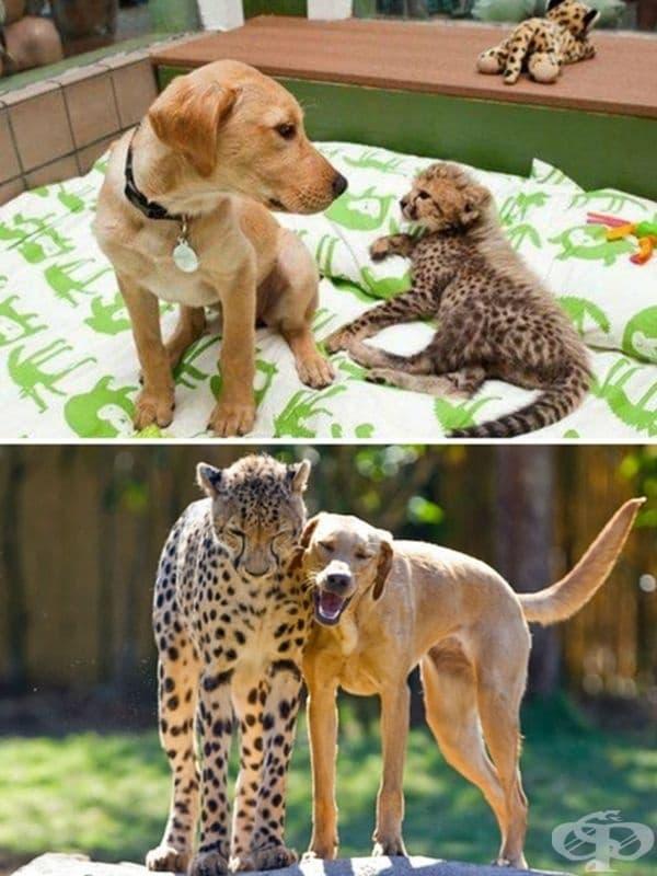 """Знаете ли, че """"домашните леопарди"""" в Африка обикновено са приятели с домашни кучета? Може би същата химия има при това куче и леопард в американска зоологическа градина."""