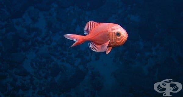 Атлантическият големоглав е бавно растящ вид с максимална продължителност на живота от 149 години. Днес тази риба е застрашена от прекомерен риболов.