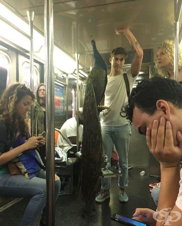 Човекът се движи с паун, но всички се интересуват повече от телефоните си