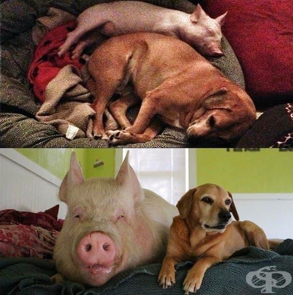 Много скоро мини прасето се оказва съвсем обикновено прасе.