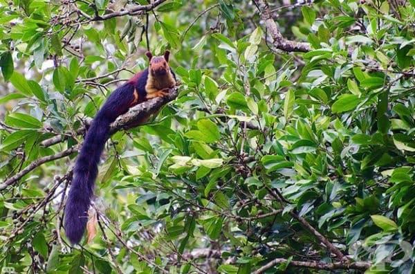 Малабарската гигантска катерица, известна още като Шекру, е родом от Индия.