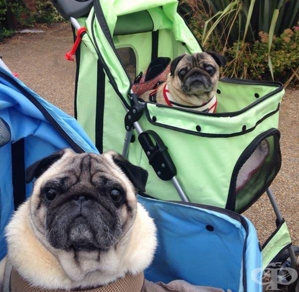 """""""Моя мопс (в синята количка) днес си намери приятел, също толкова странен като него""""."""