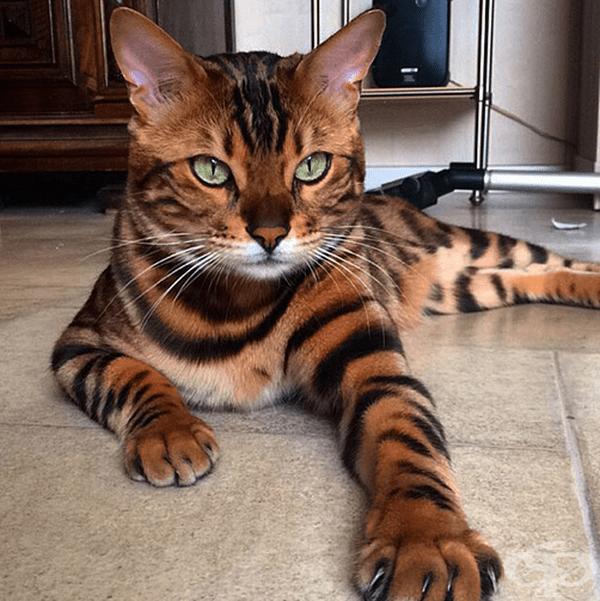 Тор е мила и активна котка.