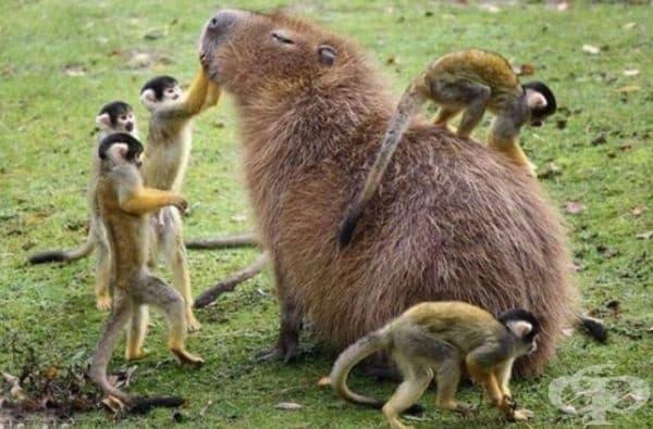 Маймуните се радват на добрата компания на капибара.