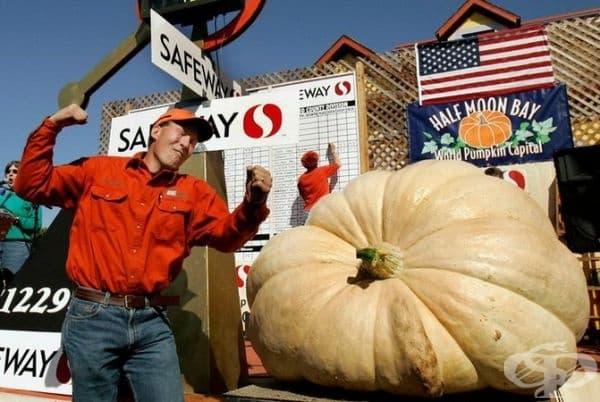 На снимката  - американецът Тад Старър от Орегон с тиква, чието тегло достигна 700 килограма. Теглото на една от последните му продукции (гигантски тикви) е почти 800 кг.