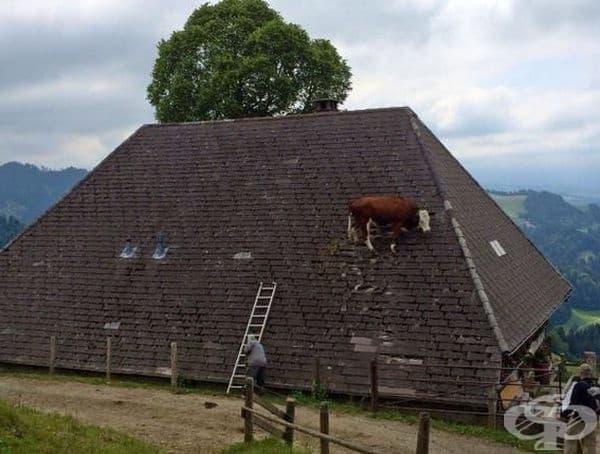 Тази крава се е уплашила от котка и се е покатерила по покрива.