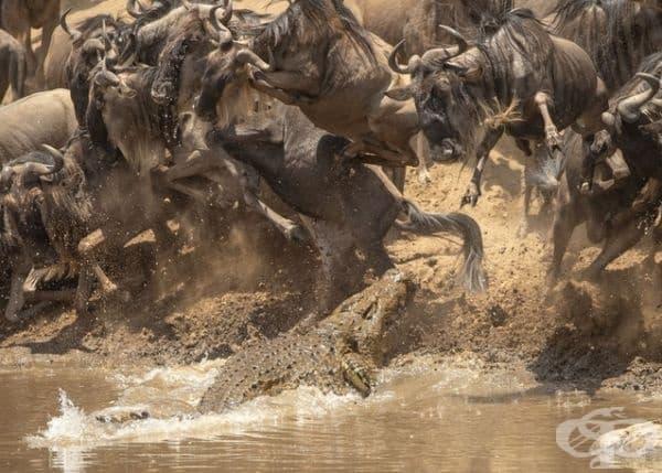 Крокодил на лов за диви животни.