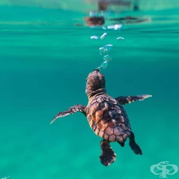 Новородена костенурка изследва големия свят.