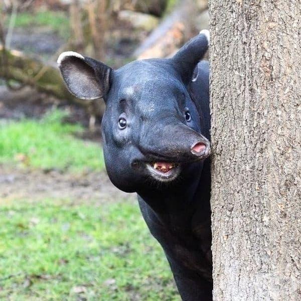 Централноамериканския тапир. Това е от най-едрите видове от род тапири и единствен вид, обитаващ Централна Америка.