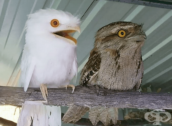 Бяла сова