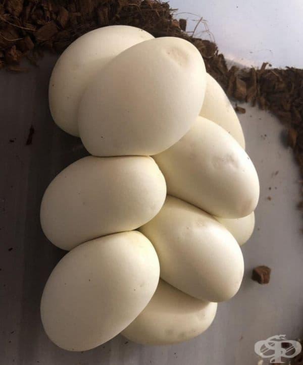 Яйца на питон, приличащи на моцарела.
