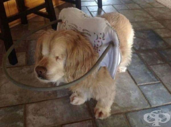 Специалният обръч помага на това сляпо куче да не удари главата си в околни предмети