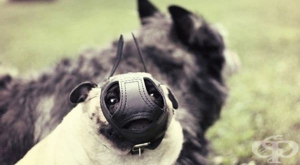 Интересно как изглежда намордник за кучета порода мопс.