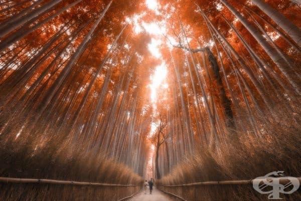 Бамбукова гора в Киото, Япония.