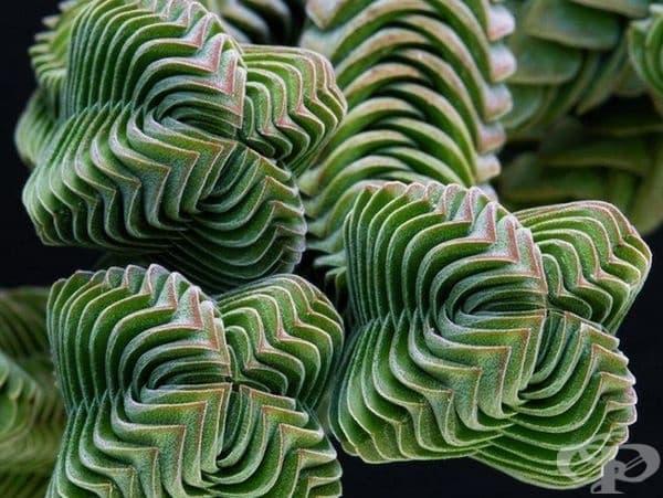 Невероятното растение Crassula.