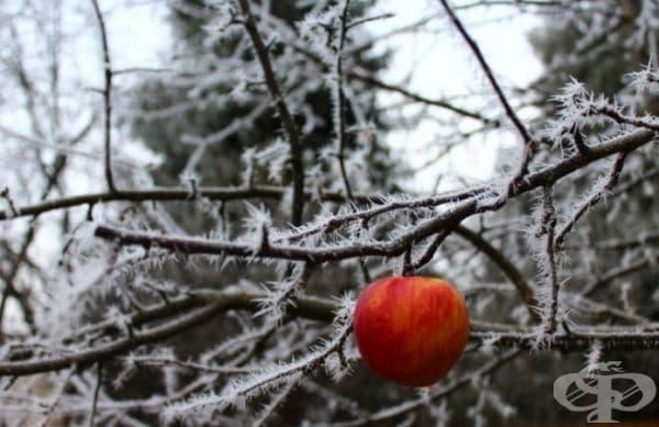 Ябълката все още висеше на дървото през декември.