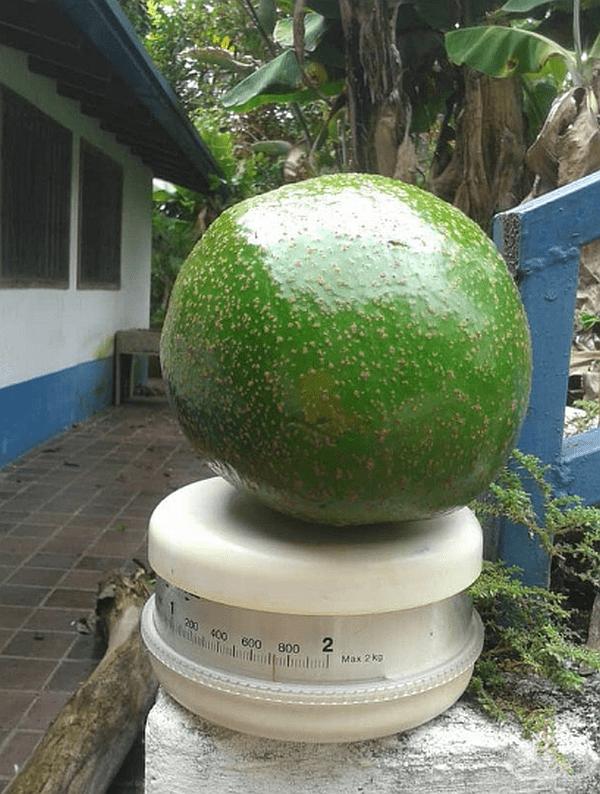 """""""Това авокадо, отглеждано от баба ми, тежи почти 2 кг."""""""