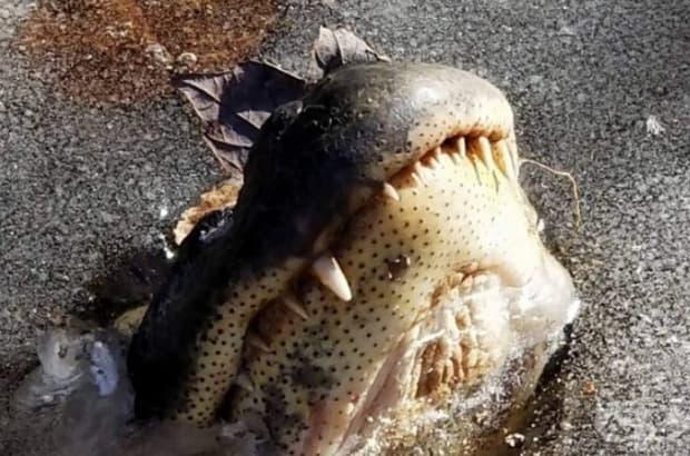 Виждали ли сте някога как зимуват алигаторите? По този начин те преживяват тежките студове. Алигаторите попадат в хибернация и показват муцуната си над леда, за да не се задушат.